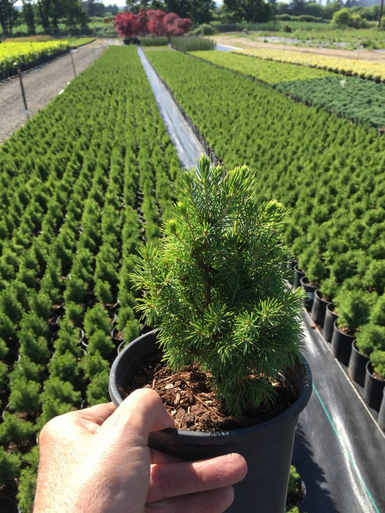 Twin Oaks Is Primarily A Whole Nursery Providing Contract Growing And Plant Propagation Services We Specialize In Pacific Northwest Shrubs Conifers